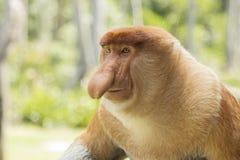 长鼻猴,男性 免版税库存图片