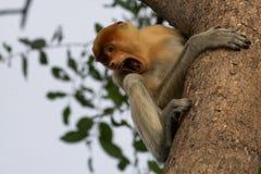 长鼻猴 库存图片