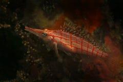 长头Hawkfish, Kapalai海岛,沙巴 库存照片