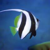 长bannerfish的飞翅 库存照片