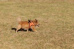 年长Pomeranian混合狗 库存图片