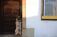 门的德国牧羊犬 免版税库存图片