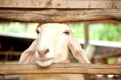 门绵羊 库存照片