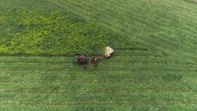 门诺派中的严紧派的农厂工人在春天的收获领域有4匹马和3条狗的如看见由寄生虫 股票视频