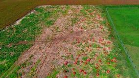 门诺派中的严紧派的南瓜农场如看见由寄生虫 股票视频