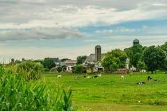 门诺派中的严紧派的国家农厂谷仓领域农业和吃草母牛在兰卡斯特, PA 图库摄影