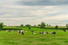 门诺派中的严紧派的国家农厂谷仓领域农业和吃草母牛在兰卡斯特, PA 免版税库存图片