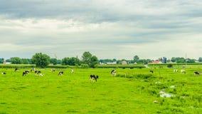 门诺派中的严紧派的国家农厂谷仓领域农业和吃草母牛在兰卡斯特, PA 免版税图库摄影