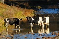 门诺派中的严紧派的母牛 免版税库存图片