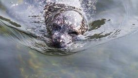 闪光斑海豹 免版税库存图片