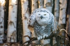 闪光看起来多雪的猫头鹰郁闷 免版税库存图片