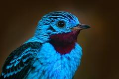 闪烁的Cotinga, Cotinga cayana,异乎寻常的罕见的热带海鸟在自然栖所,深绿森林,亚马逊,胸罩细节画象  库存图片