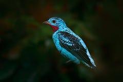 闪烁的Cotinga, Cotinga cayana,异乎寻常的罕见的热带海鸟在自然栖所,深绿森林,亚马逊,巴西 野生生物场面 免版税图库摄影