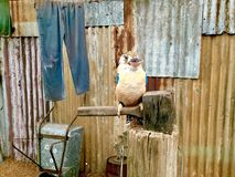 闪烁的Kookaburra 澳洲 库存照片