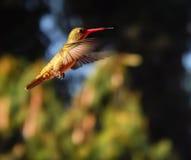 闪烁鼓起的鲜绿色蜂鸟 库存照片