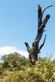闪电烧的树 免版税库存图片
