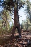 闪电被触击的结构树 免版税库存图片