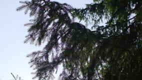 闪耀在太阳的冷杉木分支 E 冷杉木分支在阳光下 西伯利亚自然 影视素材