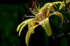 闪耀在阳光下在雨以后的黄色卷丹 免版税库存照片