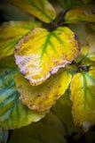 闪耀在轻的阵雨以后的湿秋天叶子 免版税库存图片