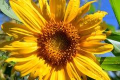 闪耀在Summer& x27的向日葵; s太阳 免版税库存图片