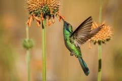 闪耀的紫罗兰色耳朵,Colibri coruscans,盘旋在橙色花旁边,从高处的鸟,machu picchu 免版税库存图片