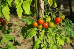 闪耀的蕃茄 免版税图库摄影