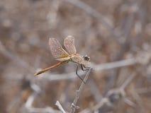 闪耀的蜻蜓在阳光下 免版税库存照片