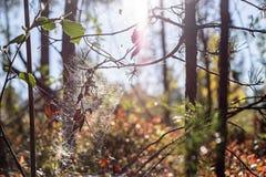 闪耀的spiderweb在干燥分支垂悬 免版税图库摄影