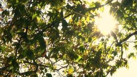 闪耀通过欧洲七叶树或七叶树果实树的叶子的阳光 股票视频