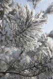 闪耀霜的杉木 库存照片