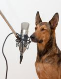 闭合狗眼睛唱歌 库存图片