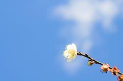 闭合的杏子开花在春天 免版税库存图片