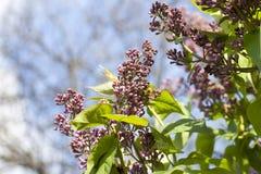 闭合的淡紫色芽 免版税库存照片
