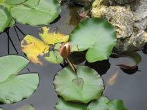 闭合的百合芽在大绿色叶子旁边的水中 图库摄影