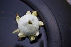 闭合的莲花芽 库存图片