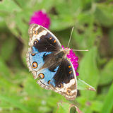 闭合蓝色蝴蝶花(Junonia orithya)的蝴蝶 免版税图库摄影