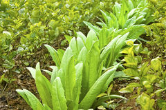 间隔种植技术的茉莉花莴苣 库存图片