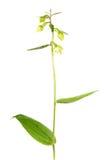 阔叶烟草的在白色背景隔绝的火烧兰或耐寒兰火烧兰花 免版税图库摄影