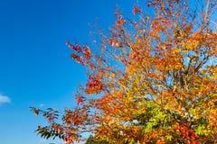 阔叶烟草的结构树在秋天 图库摄影