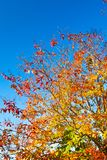 阔叶烟草的结构树在秋天 免版税库存照片