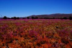 阔叶烟草的Parakeelya的领域在澳大利亚沙漠开花 库存照片
