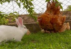 防御在尝试的母鸡攻击的兔子保护小鸡 库存图片