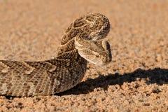 防御鼓腹毒蛇 库存照片