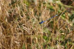 防护地盘旋在它的疆土的蜻蜓 库存照片