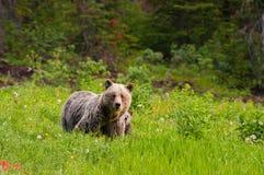 防护母亲棕熊 库存图片