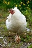 防护母鸡的母亲 免版税库存图片