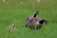 防护鹅父母用年轻幼鹅 库存图片