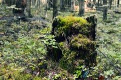 防风林,翻滚下来的和裁减树 在森林夏天早晨木头的残余部分 库存照片