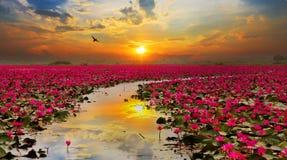 阳光上升的莲花 库存照片